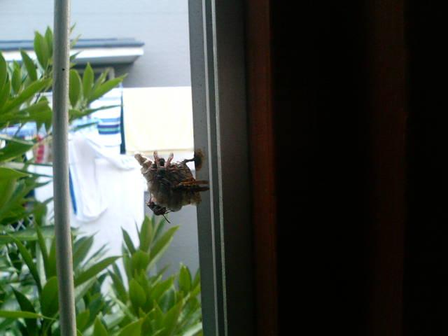 サッシに蜂の巣