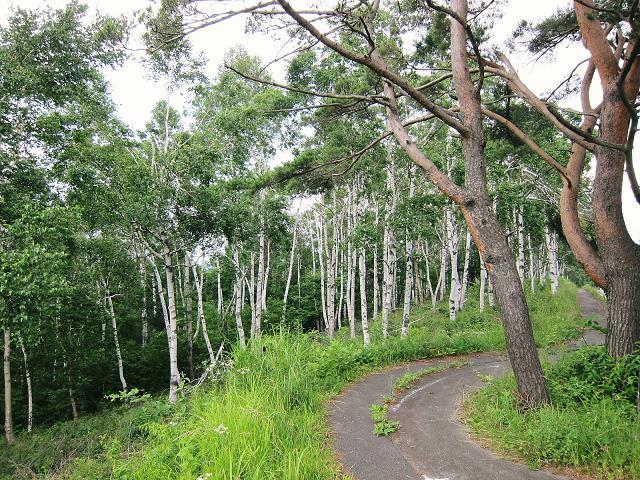 八千穂高原の白樺の森