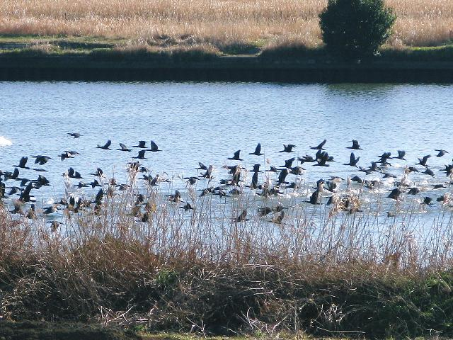 荒川の渡り鳥