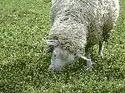 小岩井牧場の羊